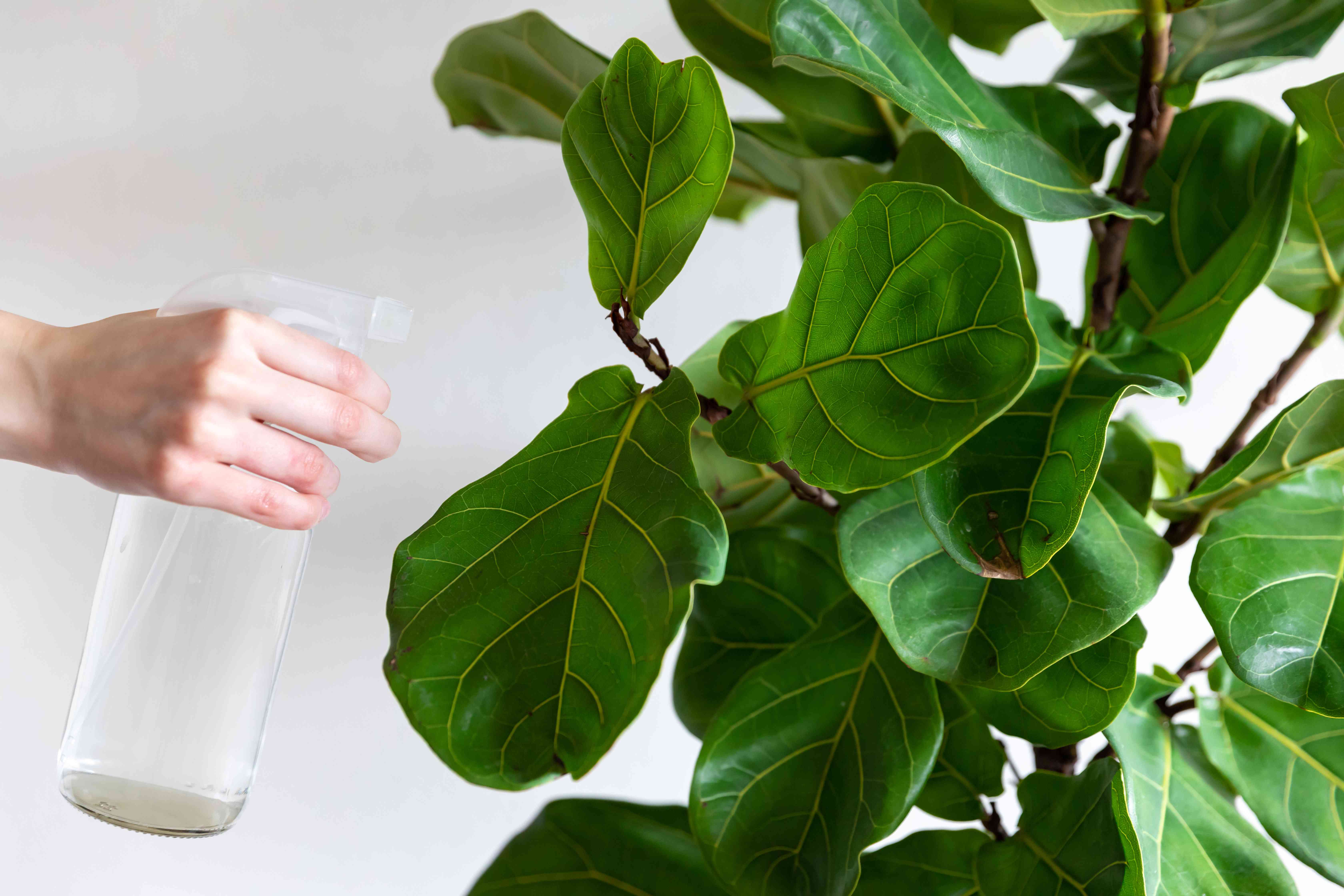 person spraying a fiddle leaf fig with soapy water