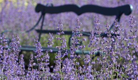 How To Grow The Catmint Nepeta Walker S Low