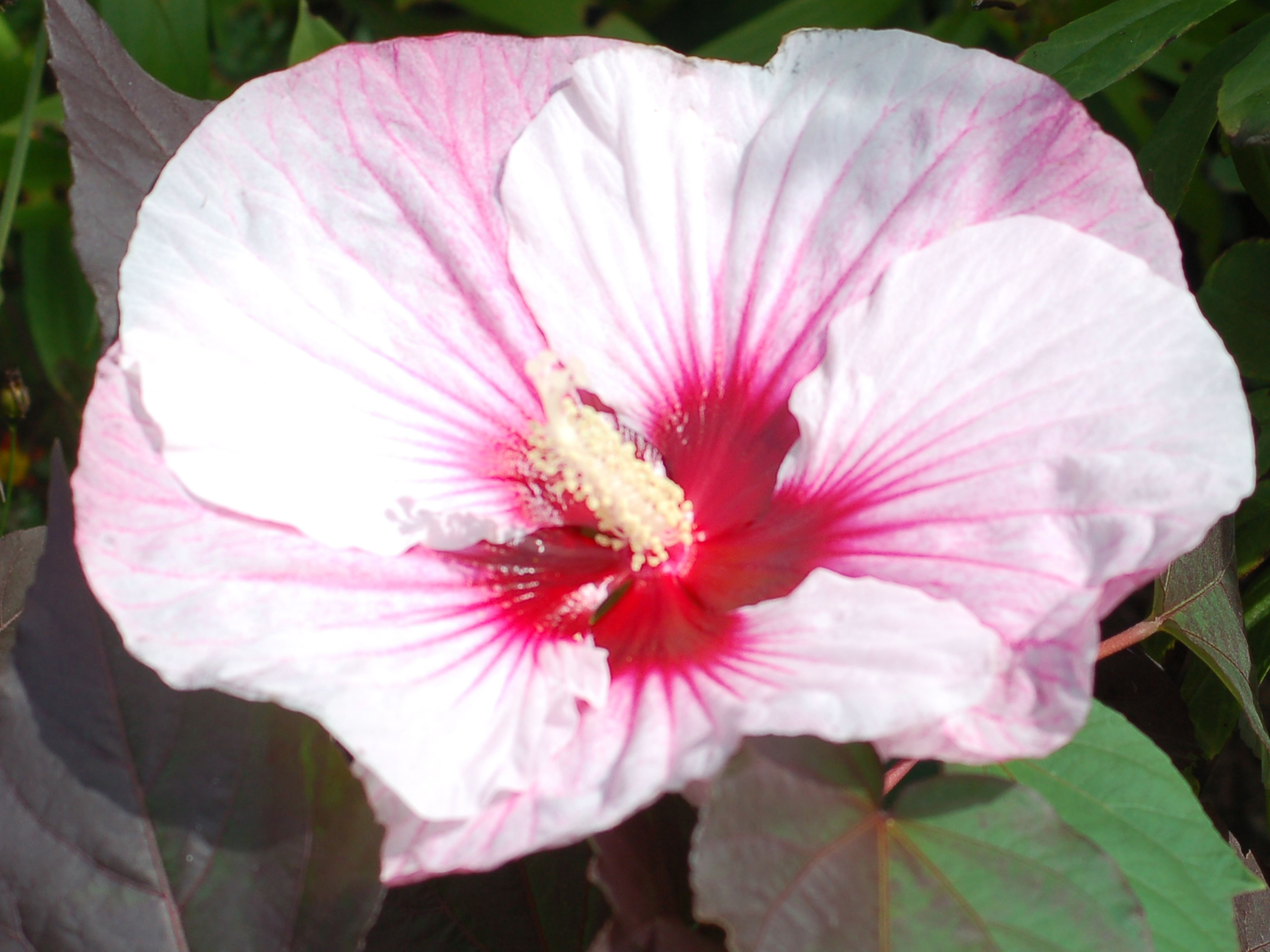 How to Grow, Care for Summerific Perfect Storm Hibiscus