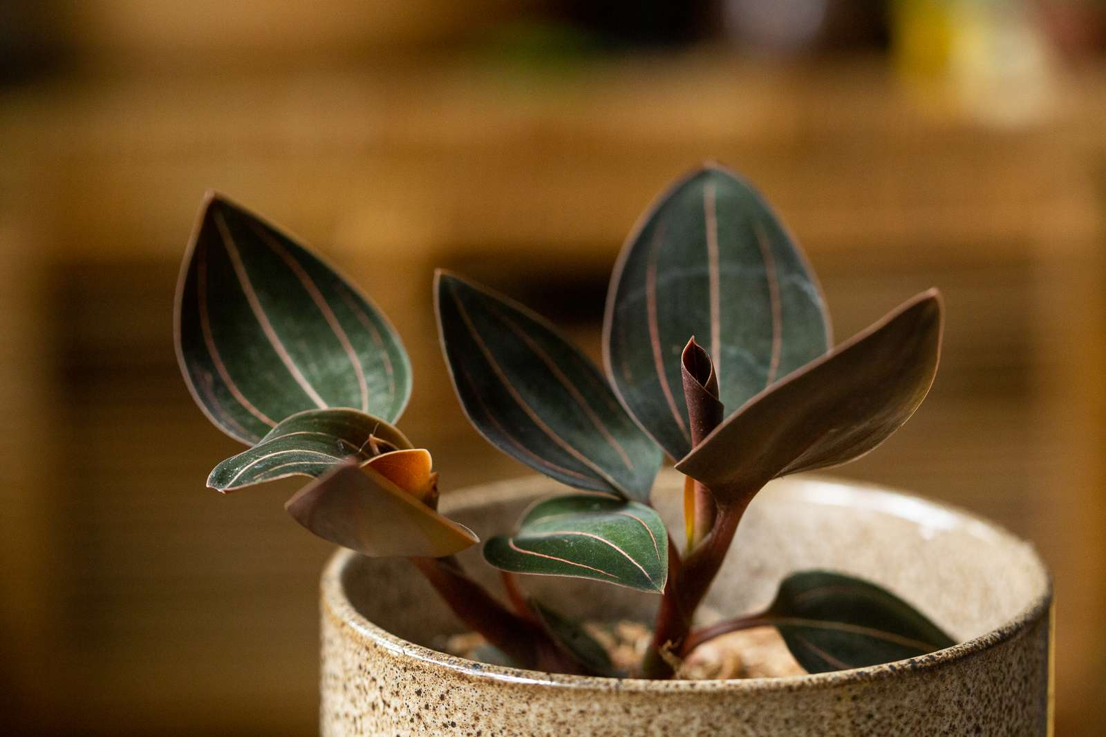 Ludisia orchid with almond-shaped leaves with yellow stripes in ceramic pot