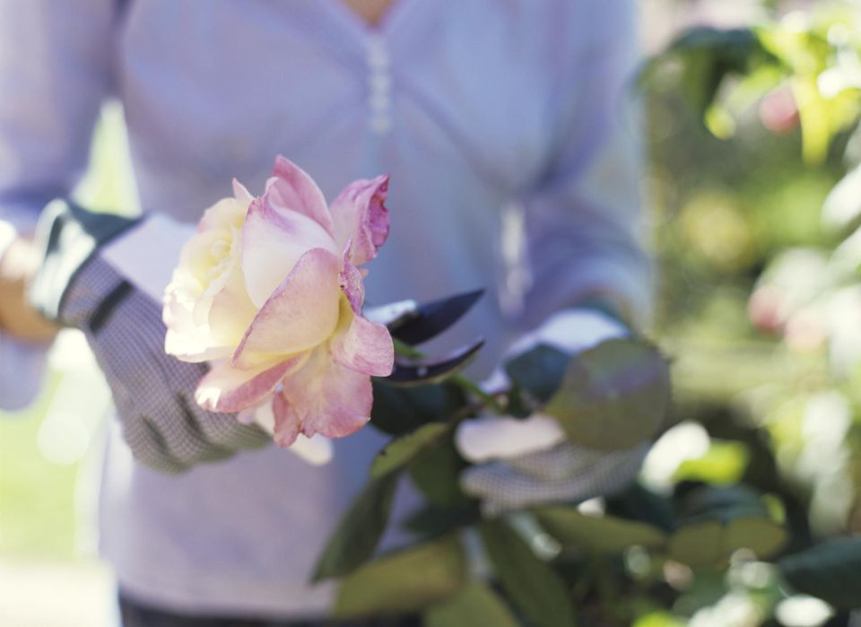 Woman cutting rose with secateurs, close up