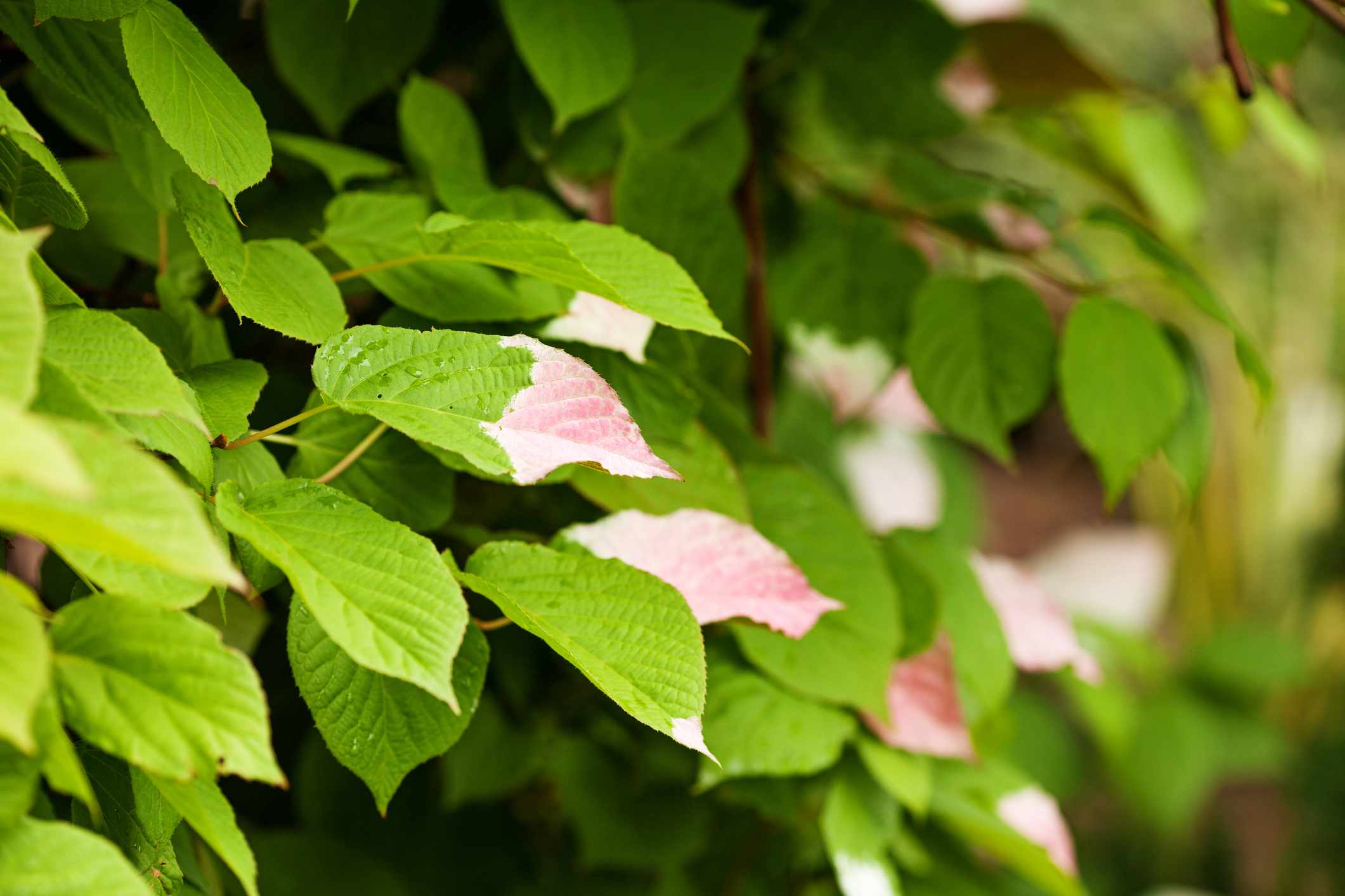 Half colored, white and pink green leaves of Variegated Kiwi Vine, Kolomikta Vine, Arctic Beauty Kiwi, Kolomikta Kiwi, Schmuckkiwi, Strahlengriffel (Actinidia kolomikta).