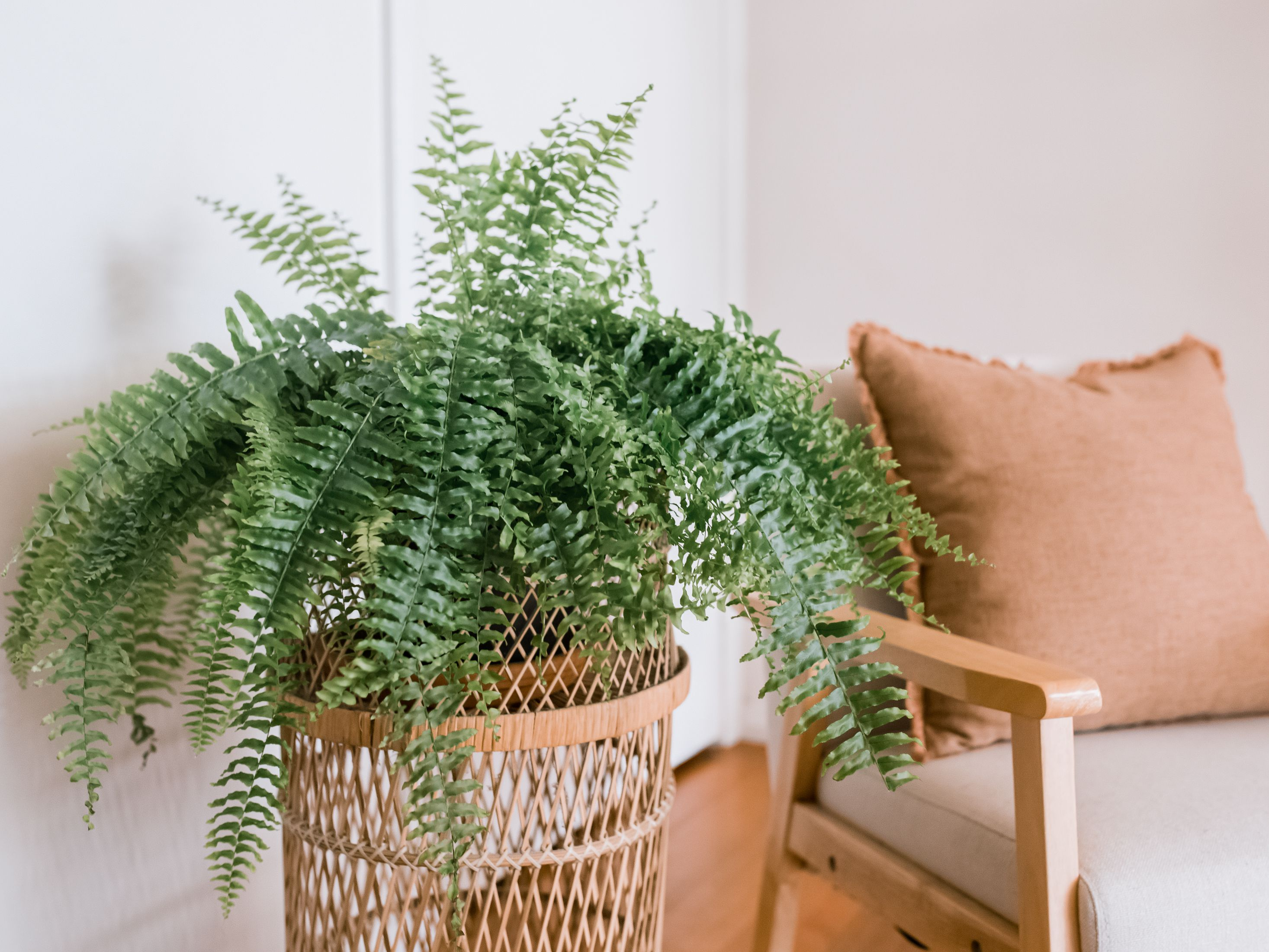 Guide to Growing Boston Ferns (Nephrolepis) Indoors