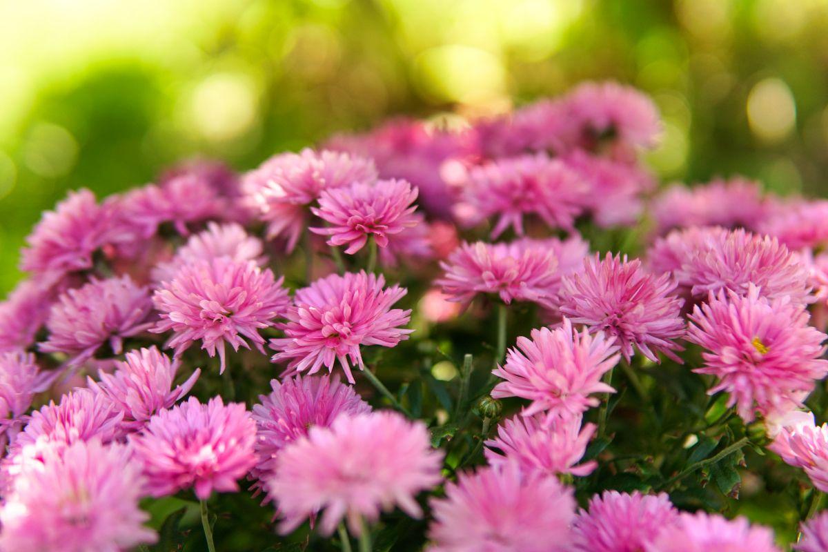 multiple bright pink Chrysanthemum flowers