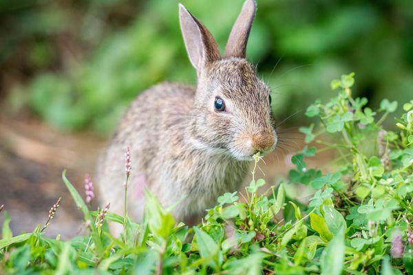 rabbit nibbling in a garden