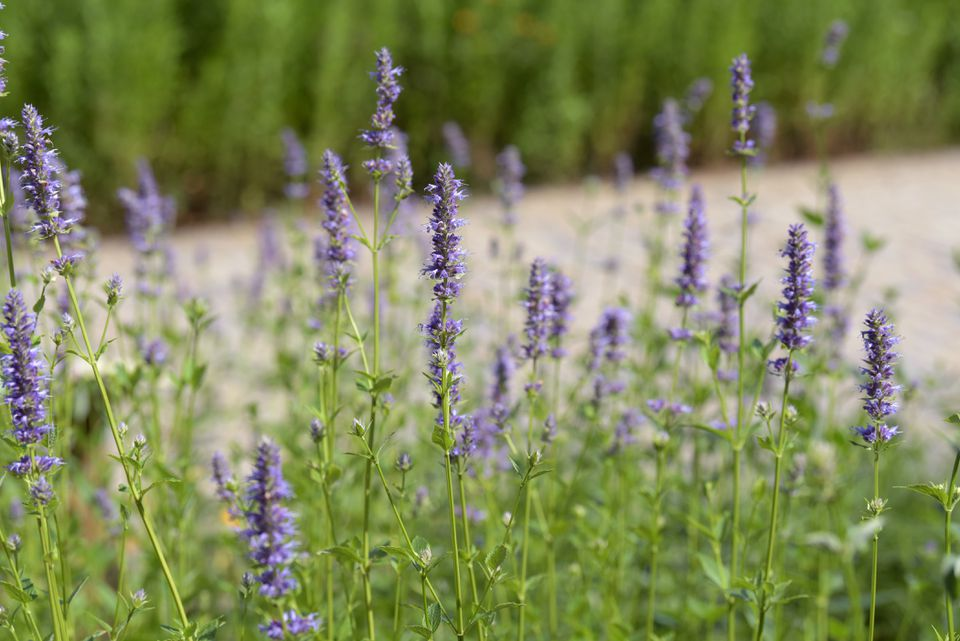 Purple giant hyssop flower spikes with small purple petals in sunlight