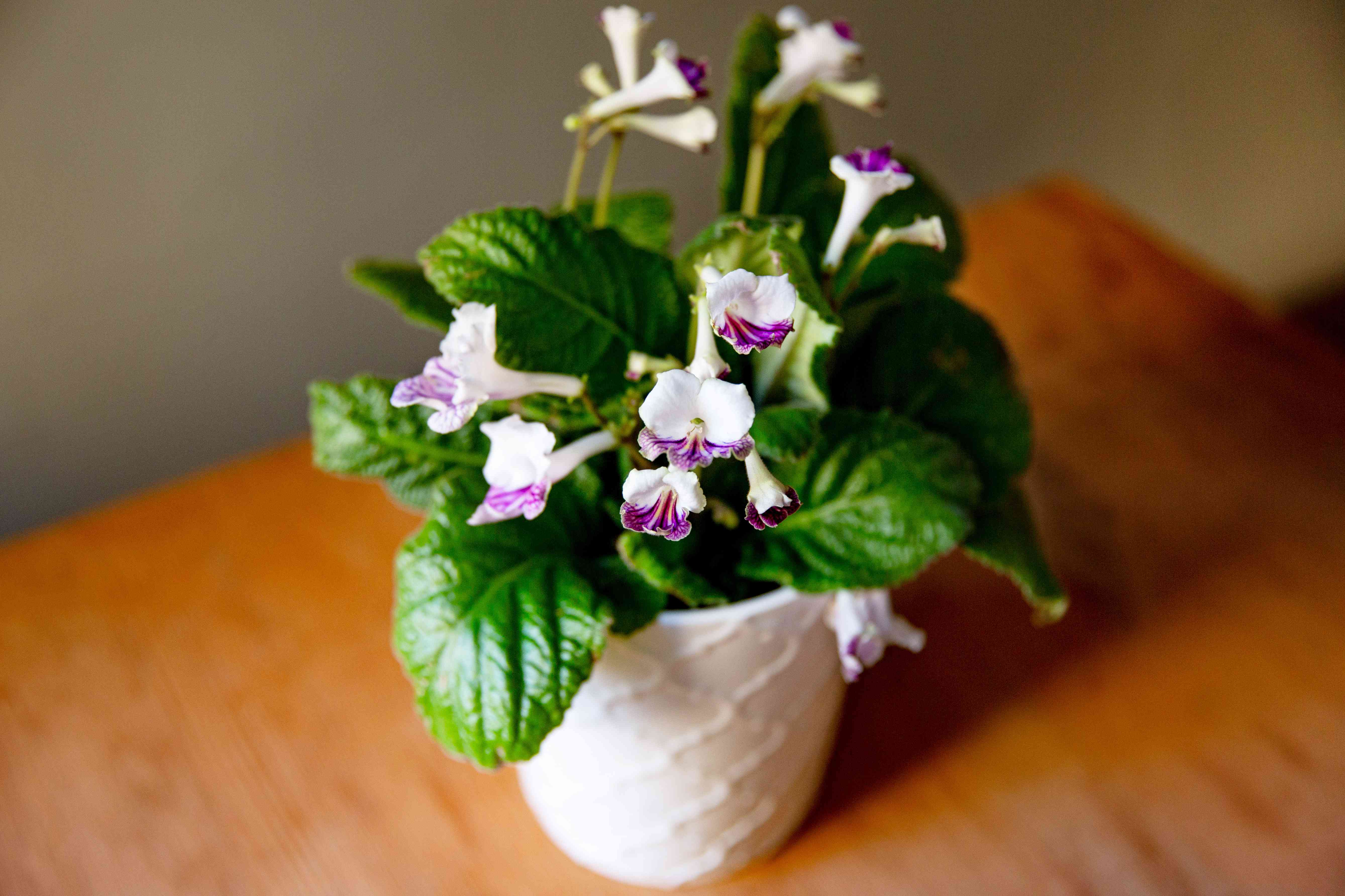 Streptocarpus plant in white pot with white and purple flowers from above