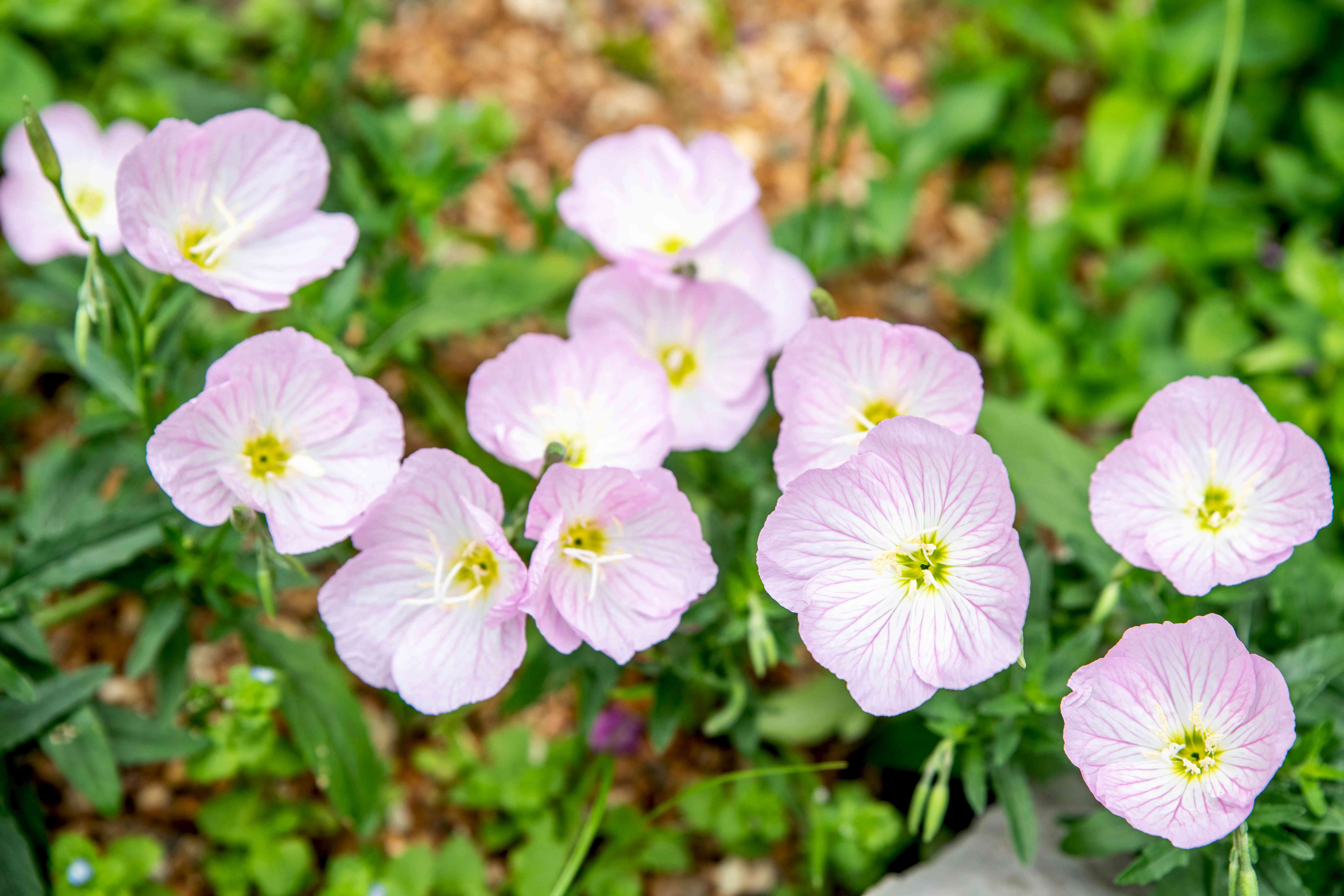Pink evening primrose flowers with pale pink and white overlapping petals with yellow-green centers