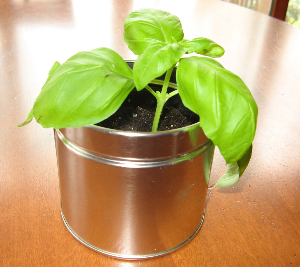 Basil Plant Potted in Recycled Container