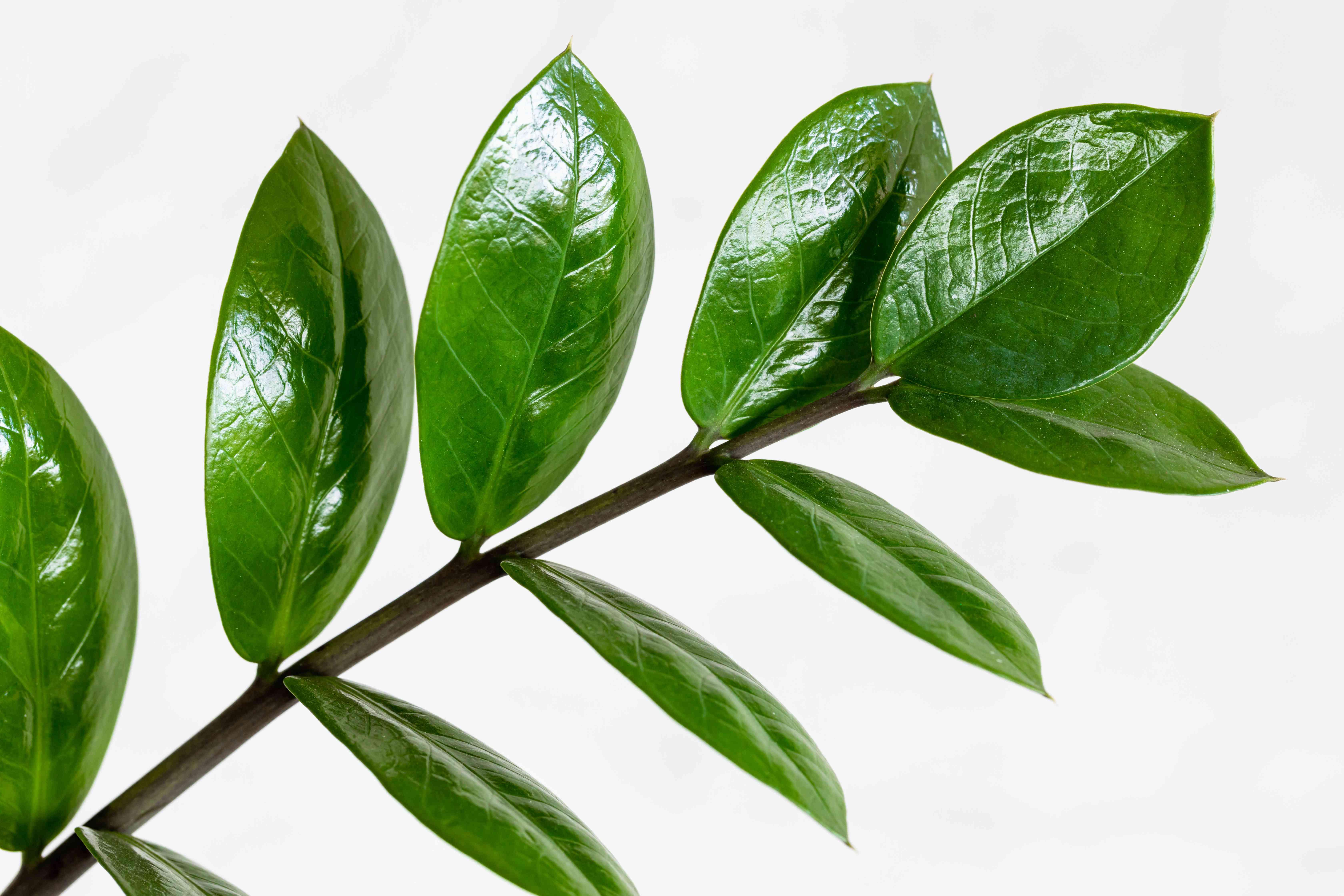 closeup of zanzibar gem leaves