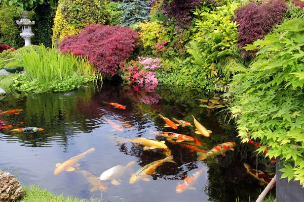 Japanese-style pond with fish swimming.