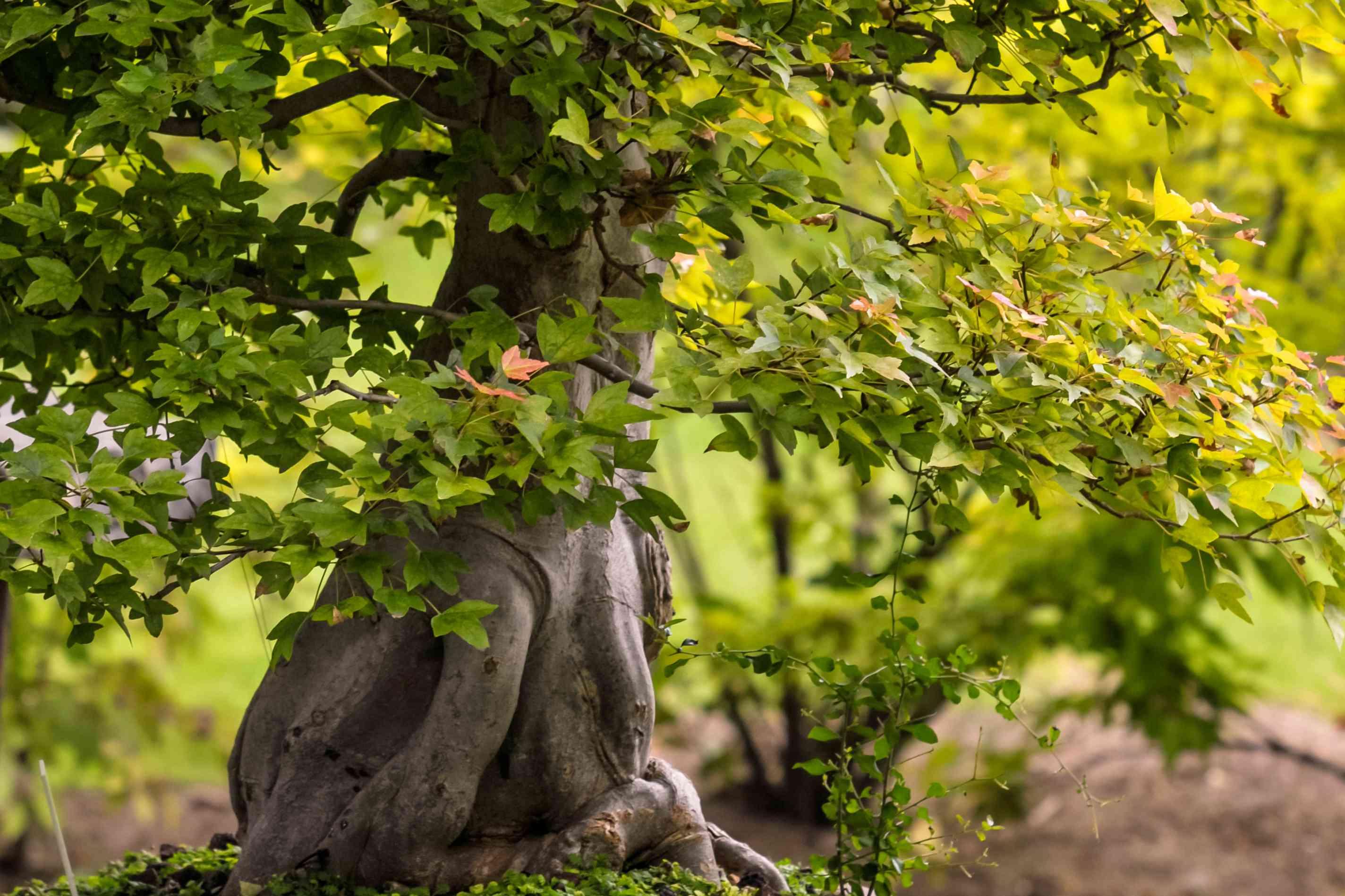 closeup of Japanese maple bonsai