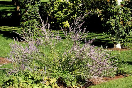Russian Sage Plants - Pruning and Planting Tips on drought garden design ideas, butterfly garden design ideas, spring garden design ideas, patio garden design ideas, tree garden design ideas, hardscape garden design ideas, wildflower garden design ideas, grass garden design ideas, community garden design ideas, plant rock garden ideas, traditional garden design ideas, arizona garden design ideas, rain garden design ideas, home garden design ideas, perennial garden design ideas, low water front yard landscape design ideas, landscape garden design ideas, cottage garden ideas, native garden design ideas, water garden design ideas,
