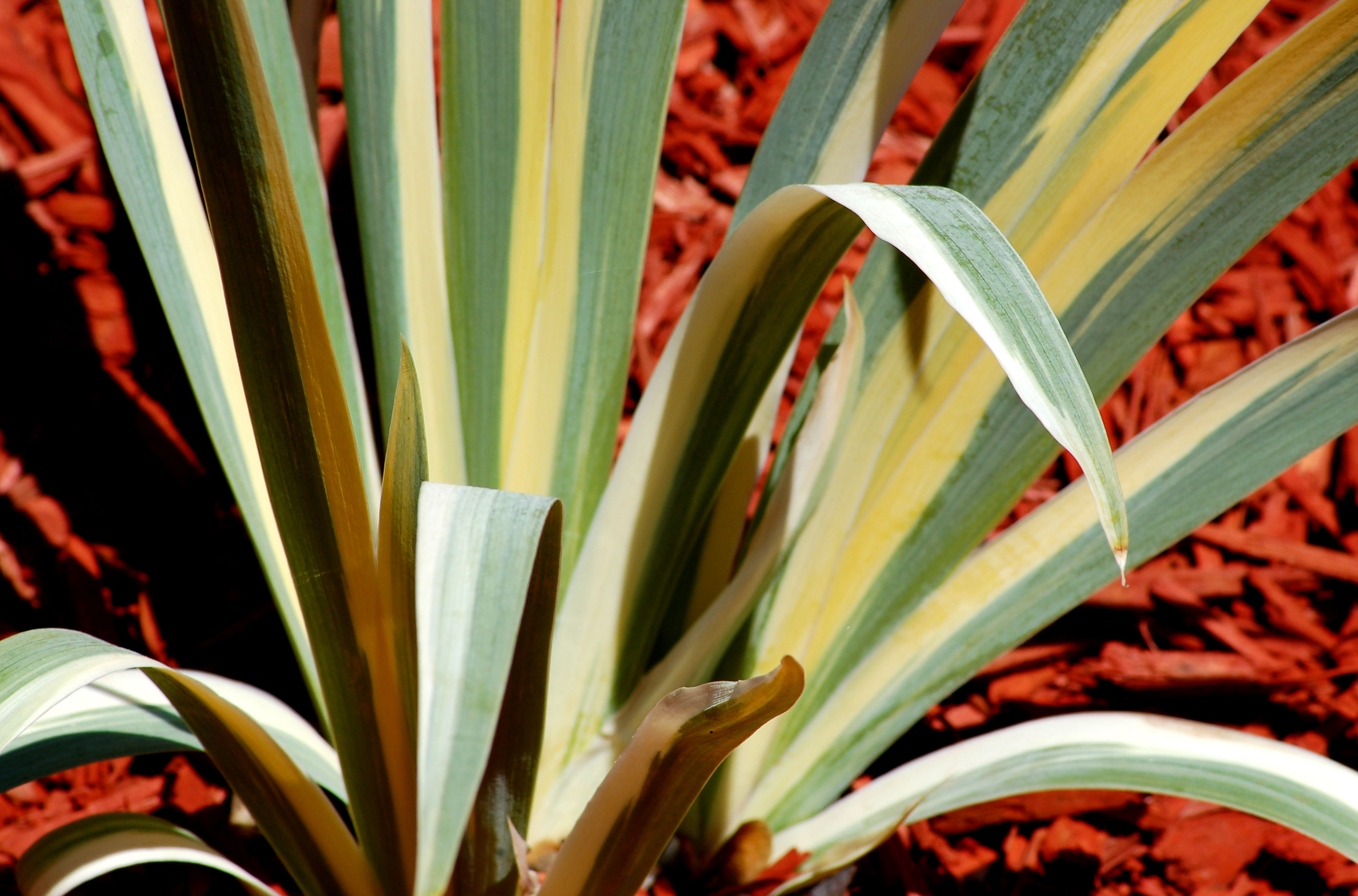 Variegated Leaves Pictures Of Bi Colored Plants