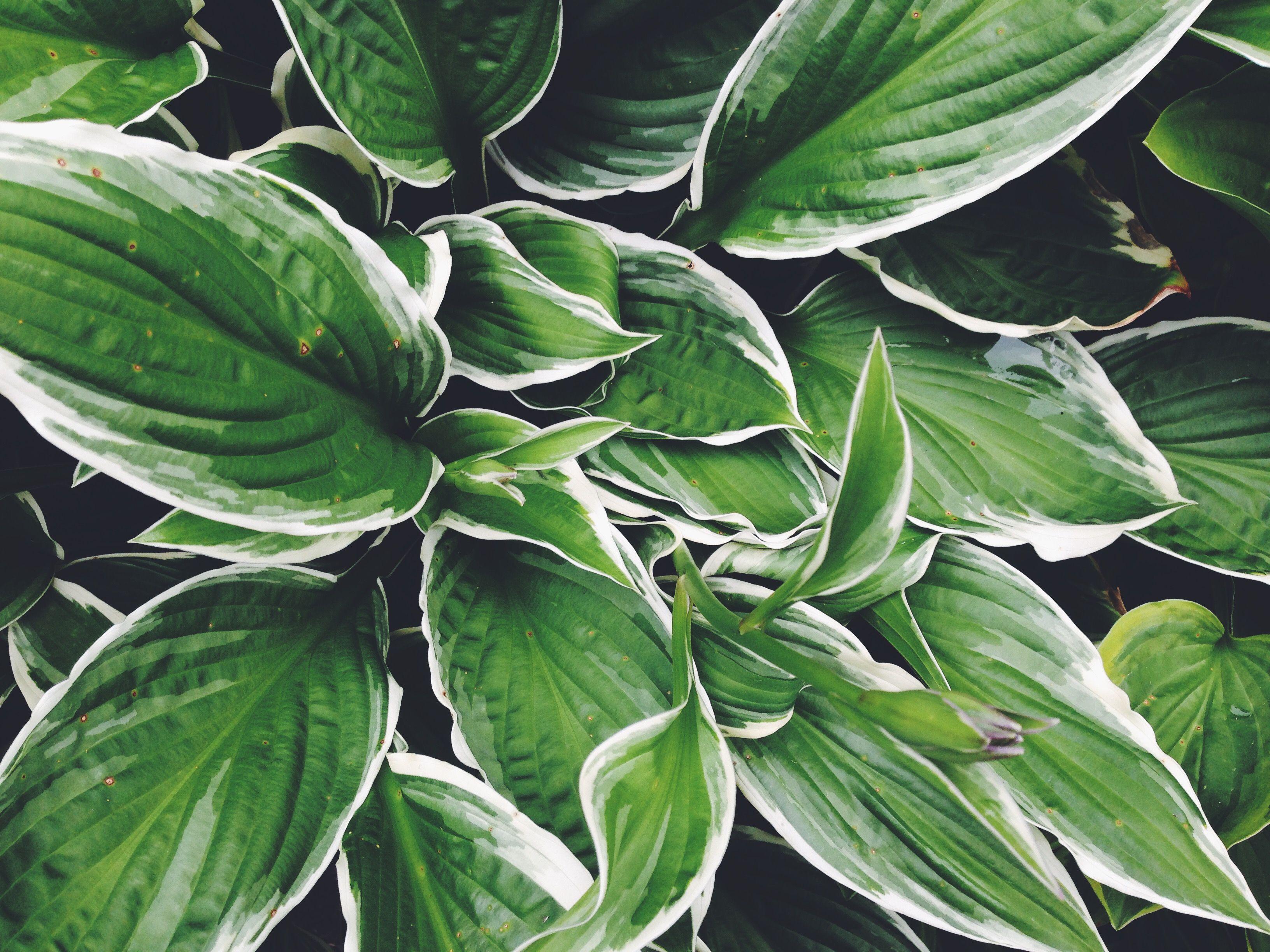 White Hosta Plant