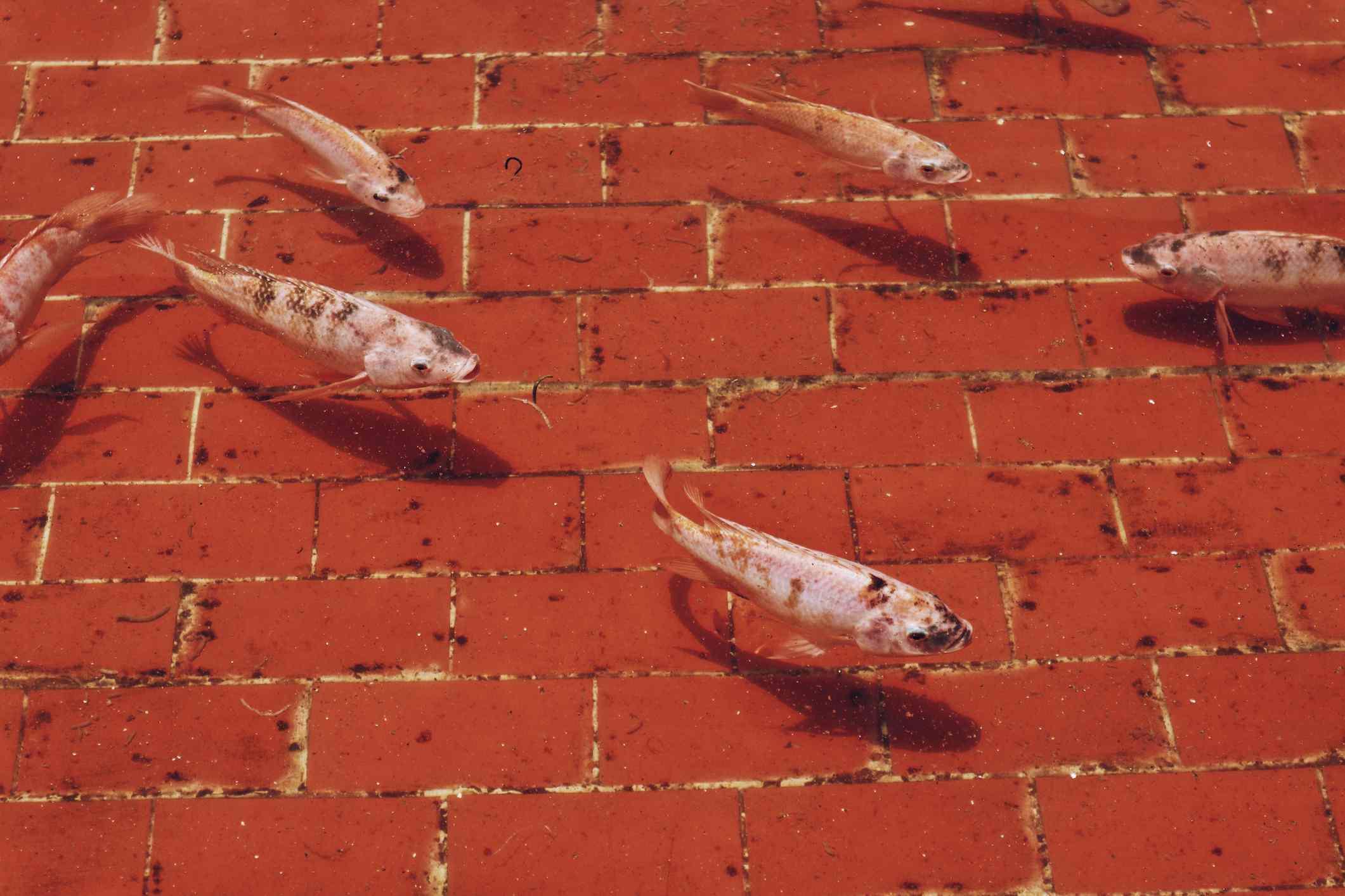 White koi fish swimming in a red brick pond.