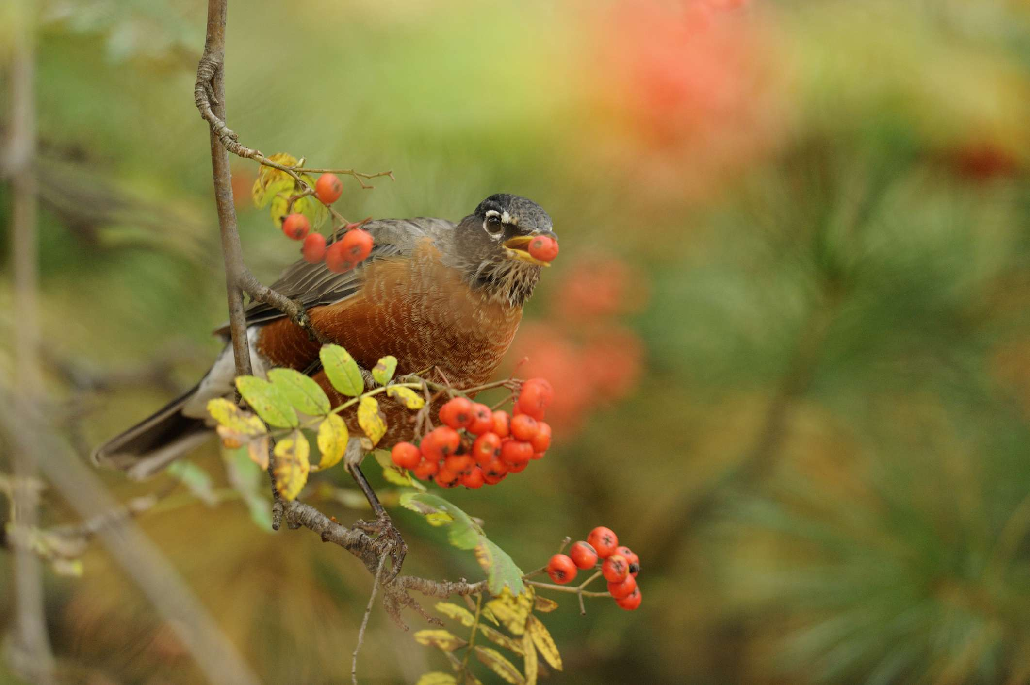 Robin eating berry from mountain ash tree.