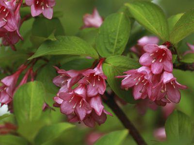 Weigela bush with deep pink flowers.