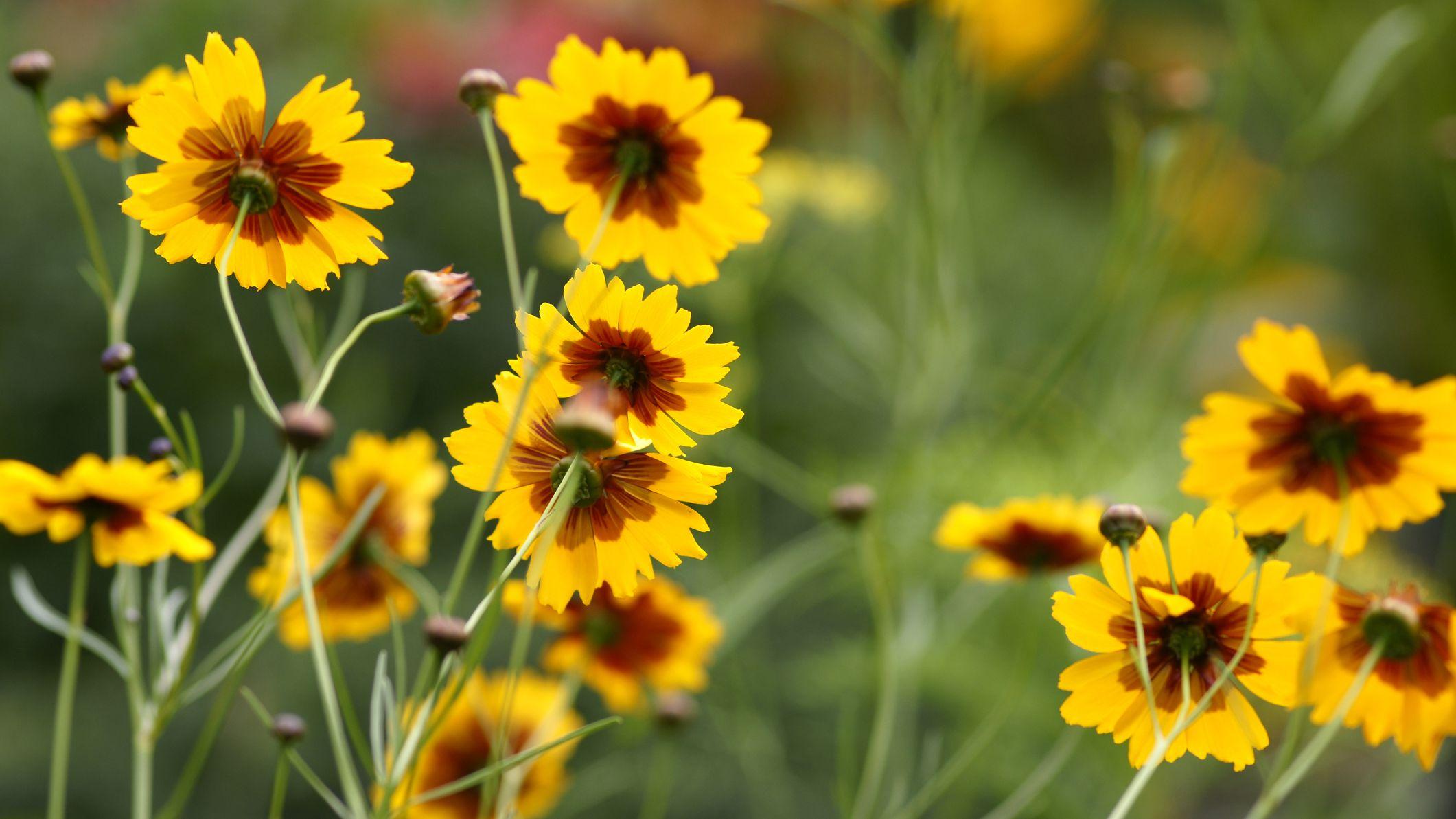 8 Varieties Of Coreopsis For Your Flower Garden