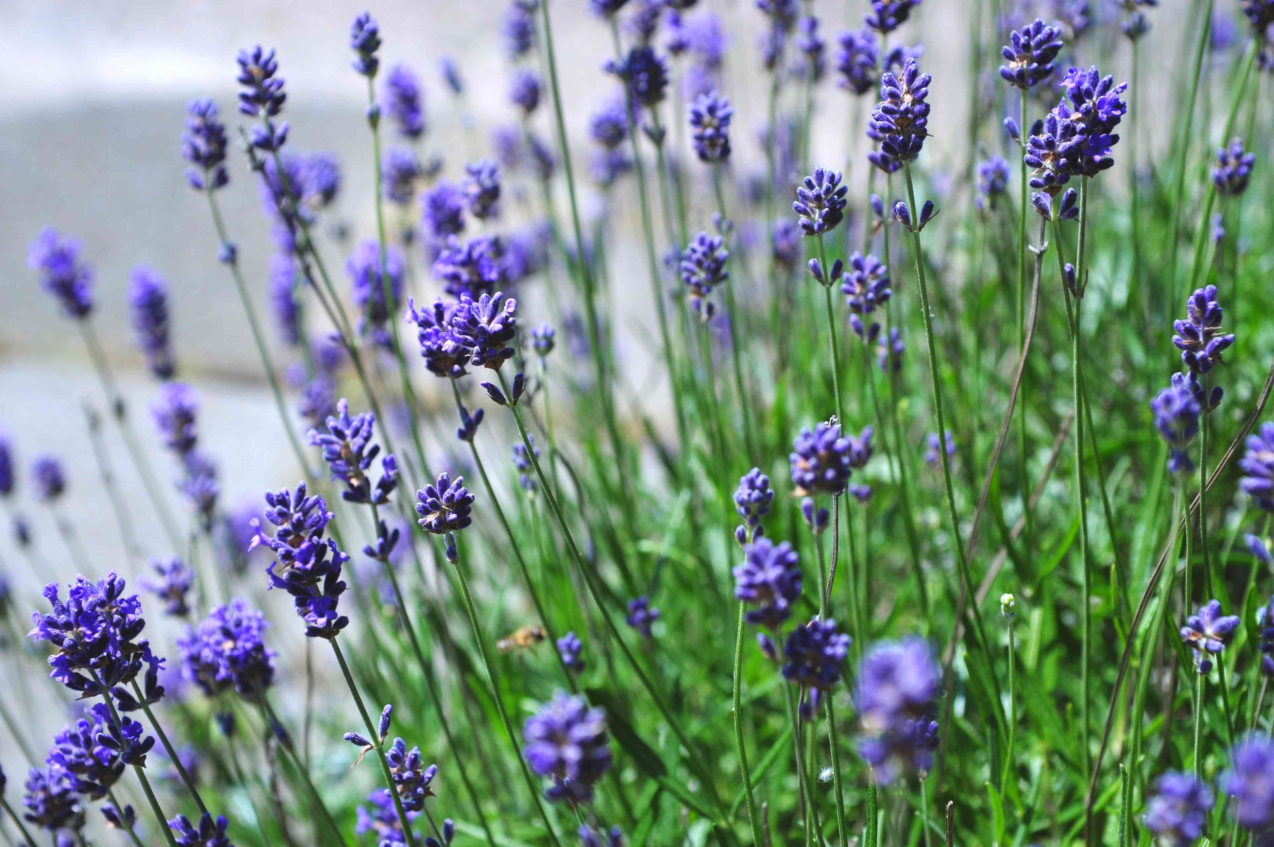 Lavender perennial with purple flowers in garden closeup