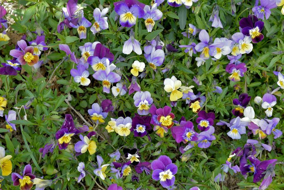 Johnny Jump Up (Viola tricolor)