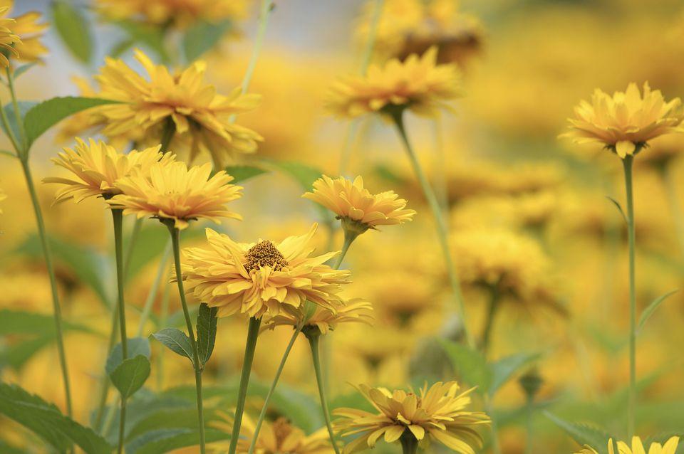 Lanceleaf Coreopsis (Coreopsis grandiflora)