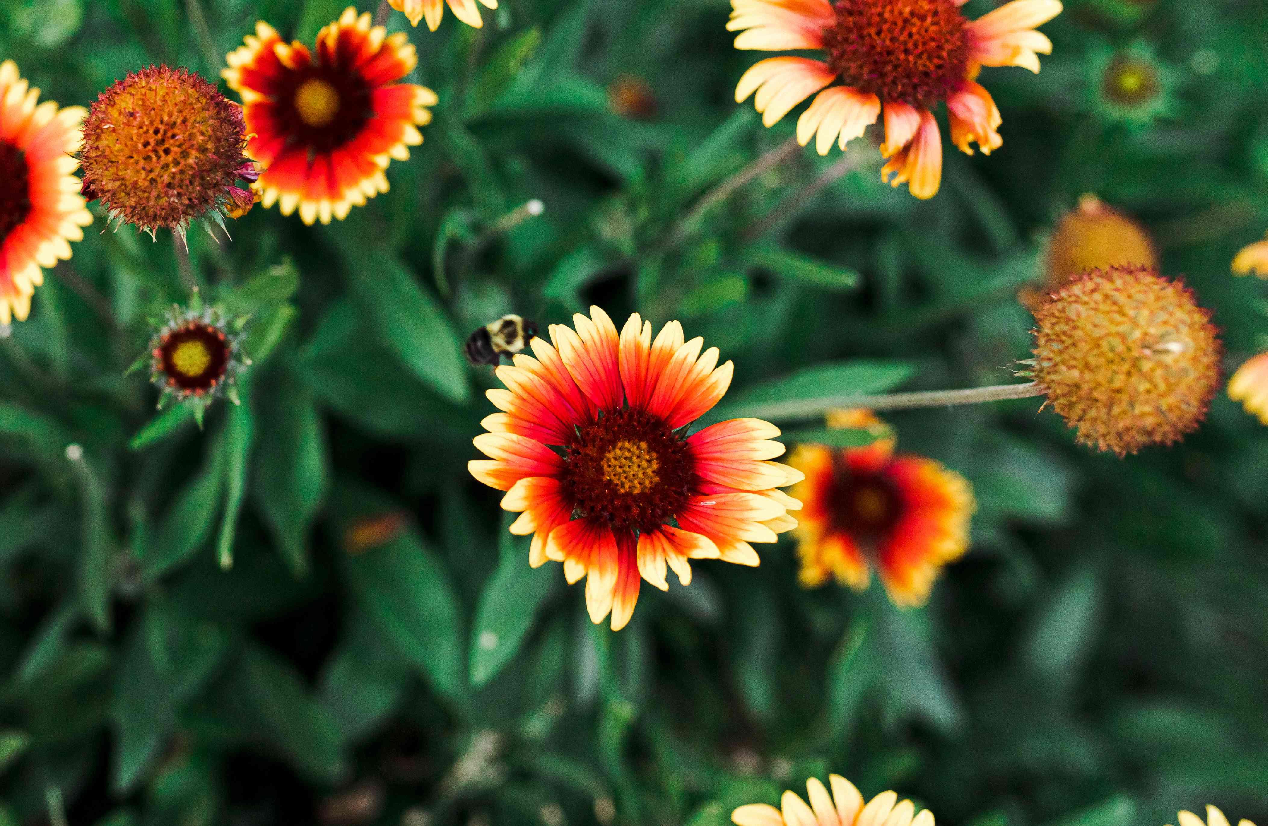 closeup of blanket flowers