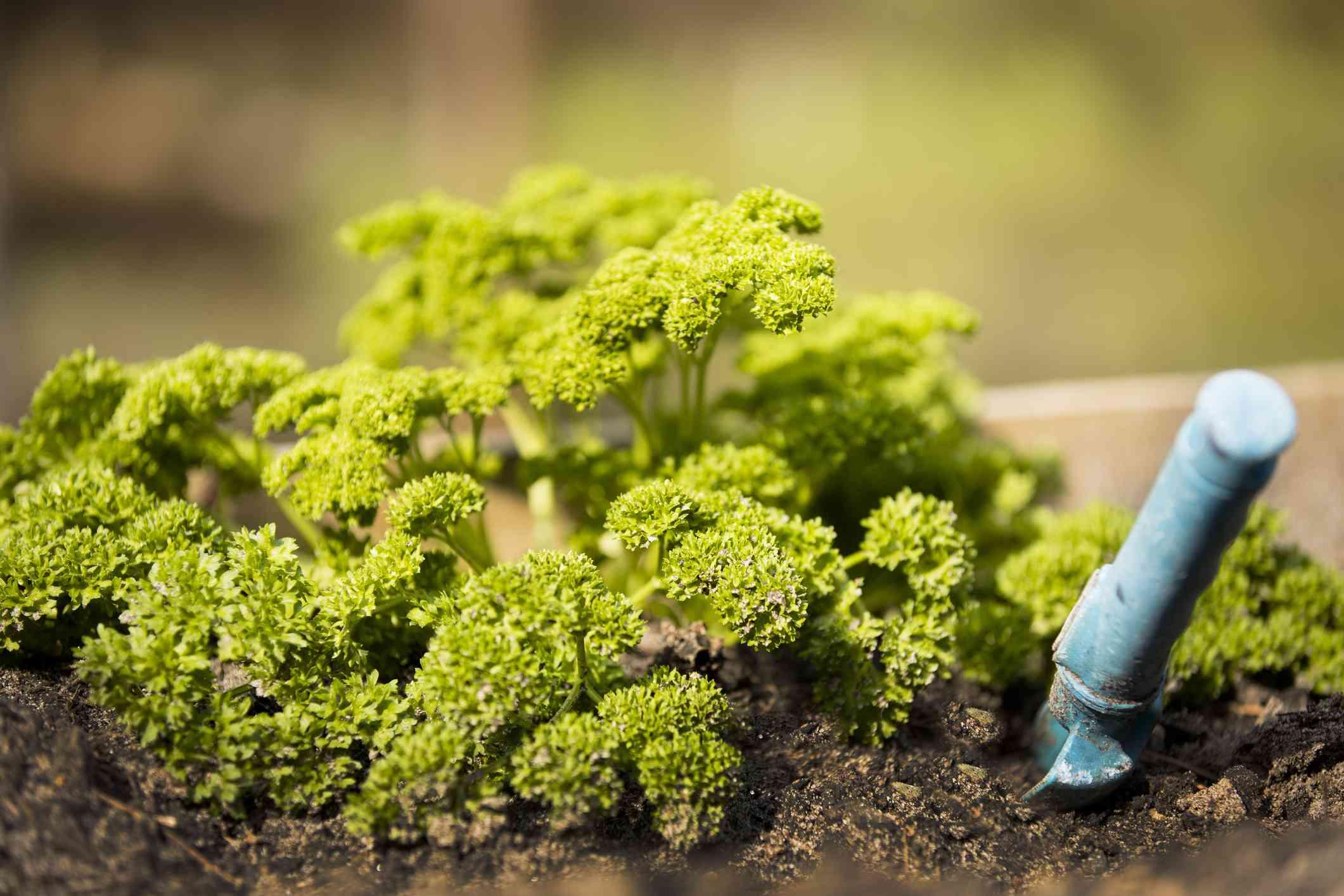 Parsley growing in home herb garden. Vegetables. Healthy living.