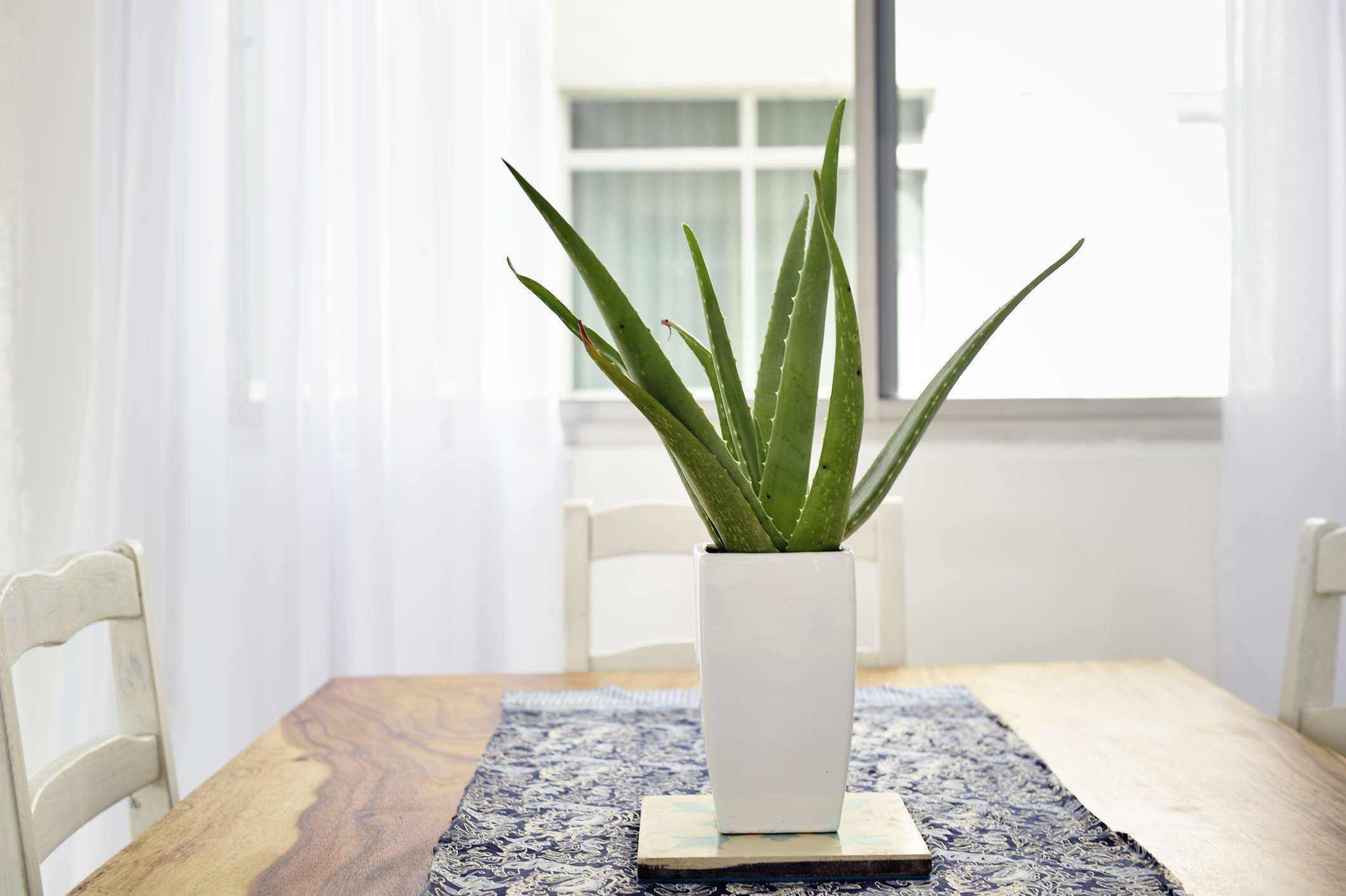 An aloe plant sits on a wooden dining table.
