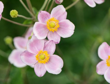 Rue anemone plant with small light pink flowers with yellow centers closeup