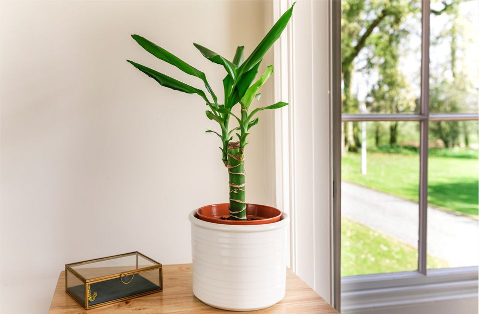 Dracaena fragrans by a window