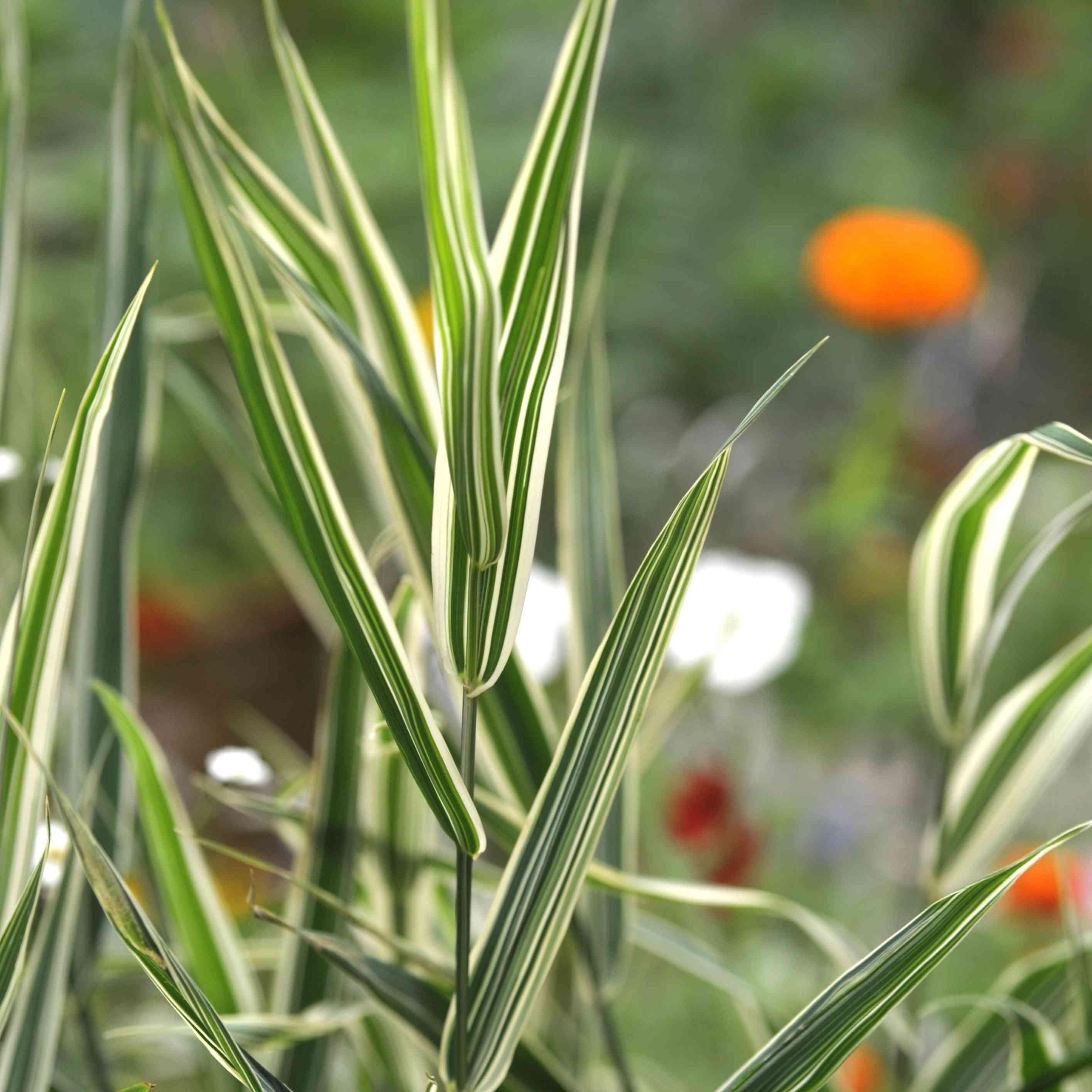blue ribbon grass