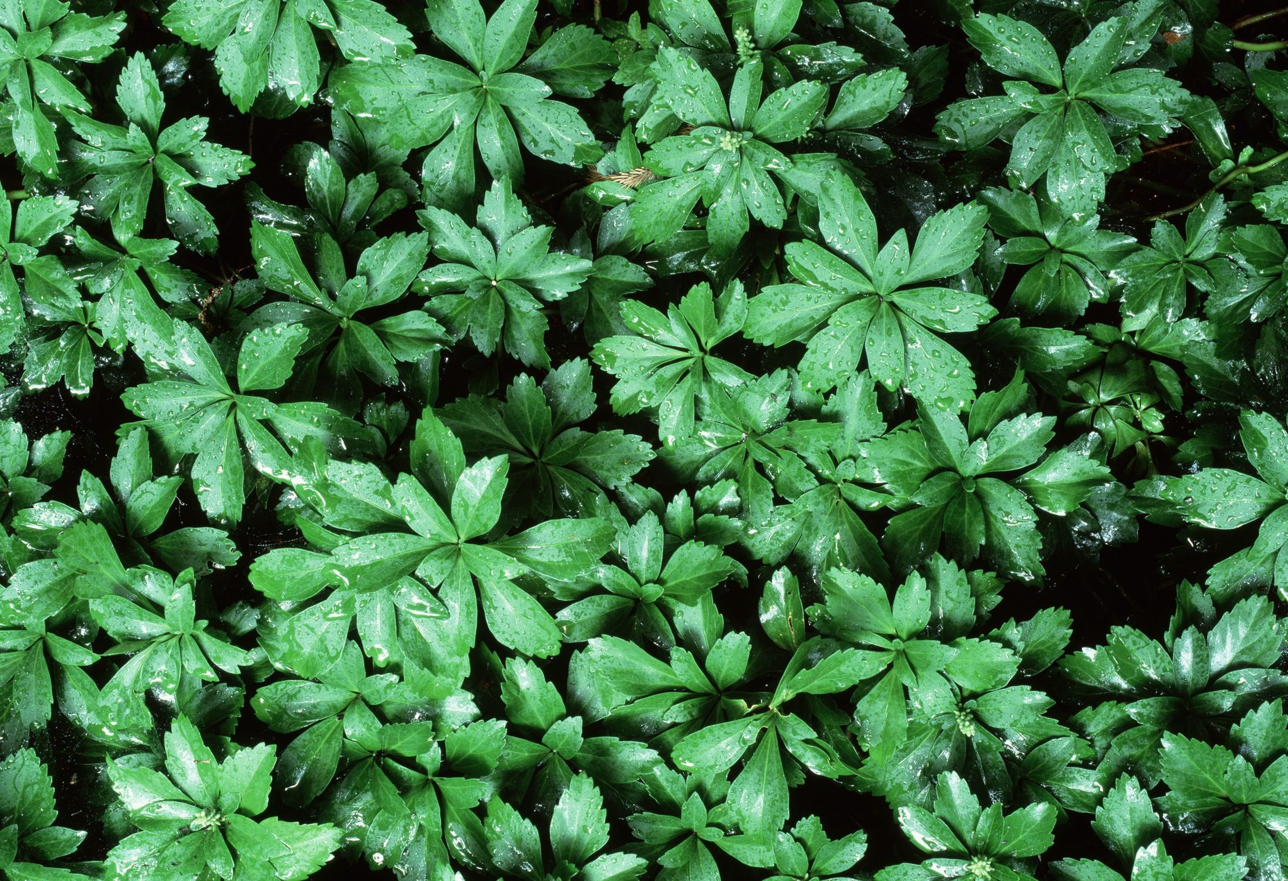 Japanese Pachysandra Useful Quot Spurge Quot Ground Cover