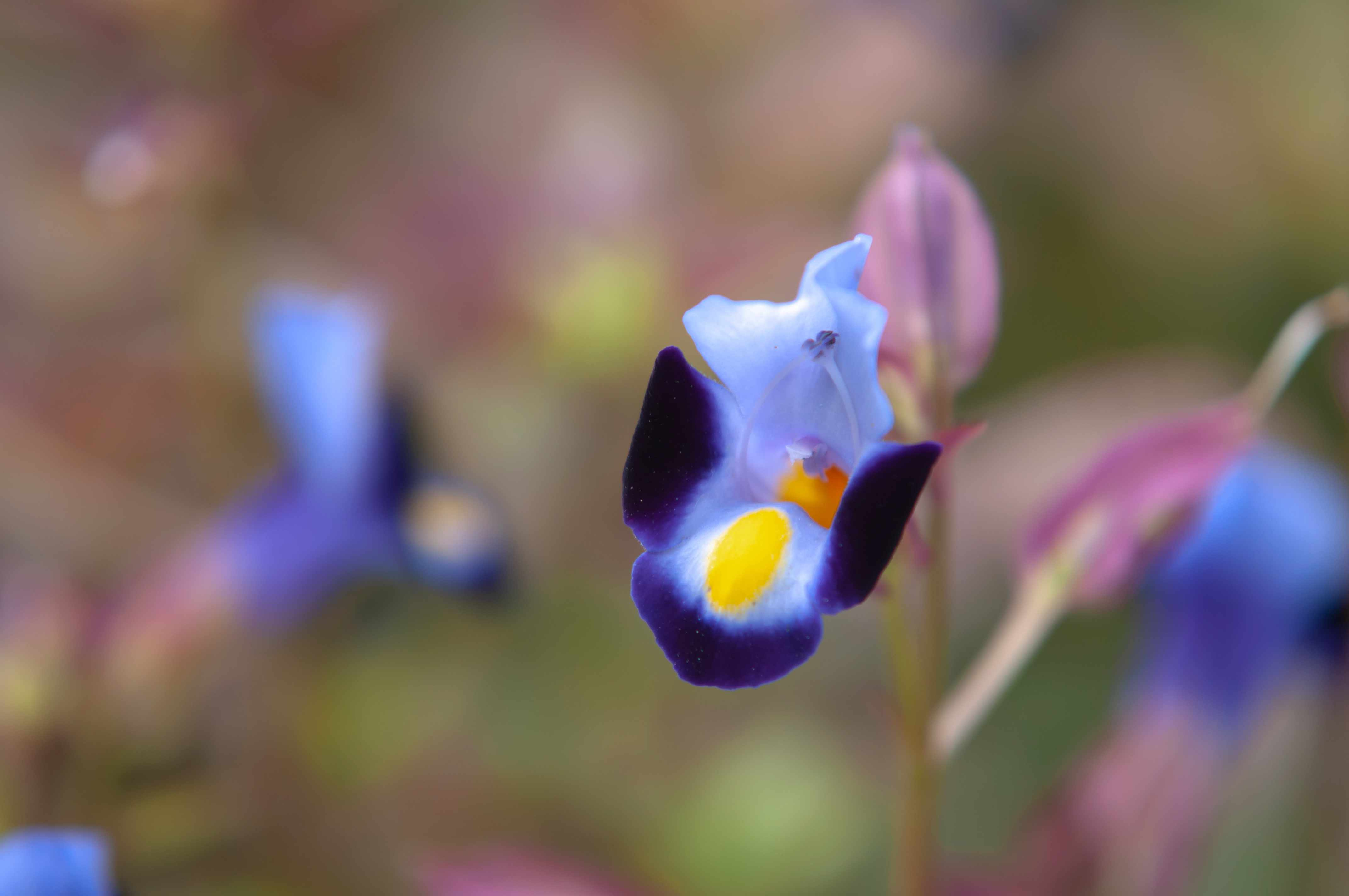 closeup of wishbone flower