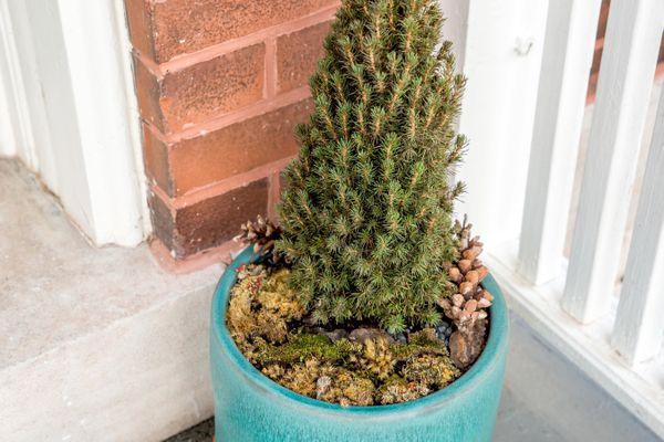 potted dwarf Alberta spruce