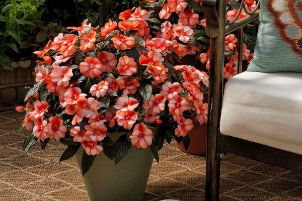 'Florific Sweet Orange' impatiens