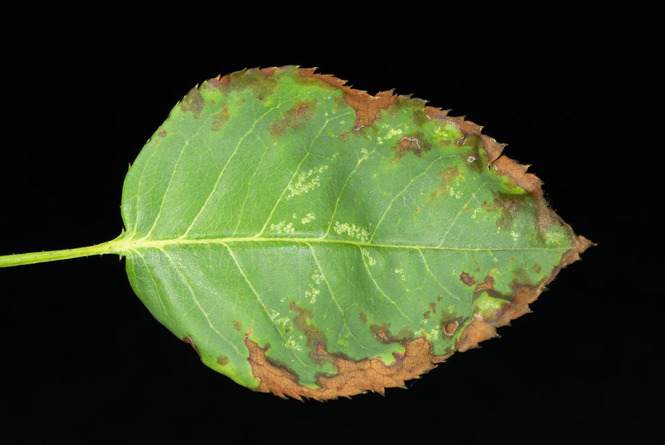 Rose leaf with anthracnose