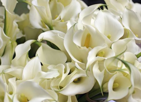 Growing and Care of Indoor Calla Lily Indoors on low light zz plant, philodendron house plant, lily of the valley plant, spathiphyllum plant, chinese evergreen indoor plant, peace prayer lily plant, lily with beta fish plant, red with a lily like plant bloom, wedding peace lily plant,
