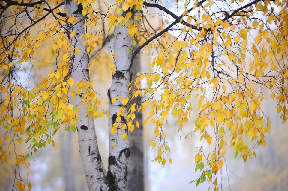Silver birch tree with yellow leaves against foggy background