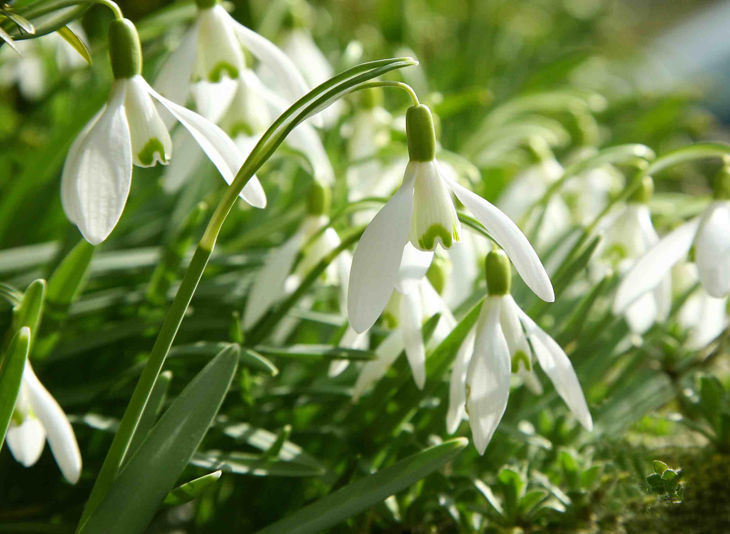 Snowdrop flowers (Galanthus)