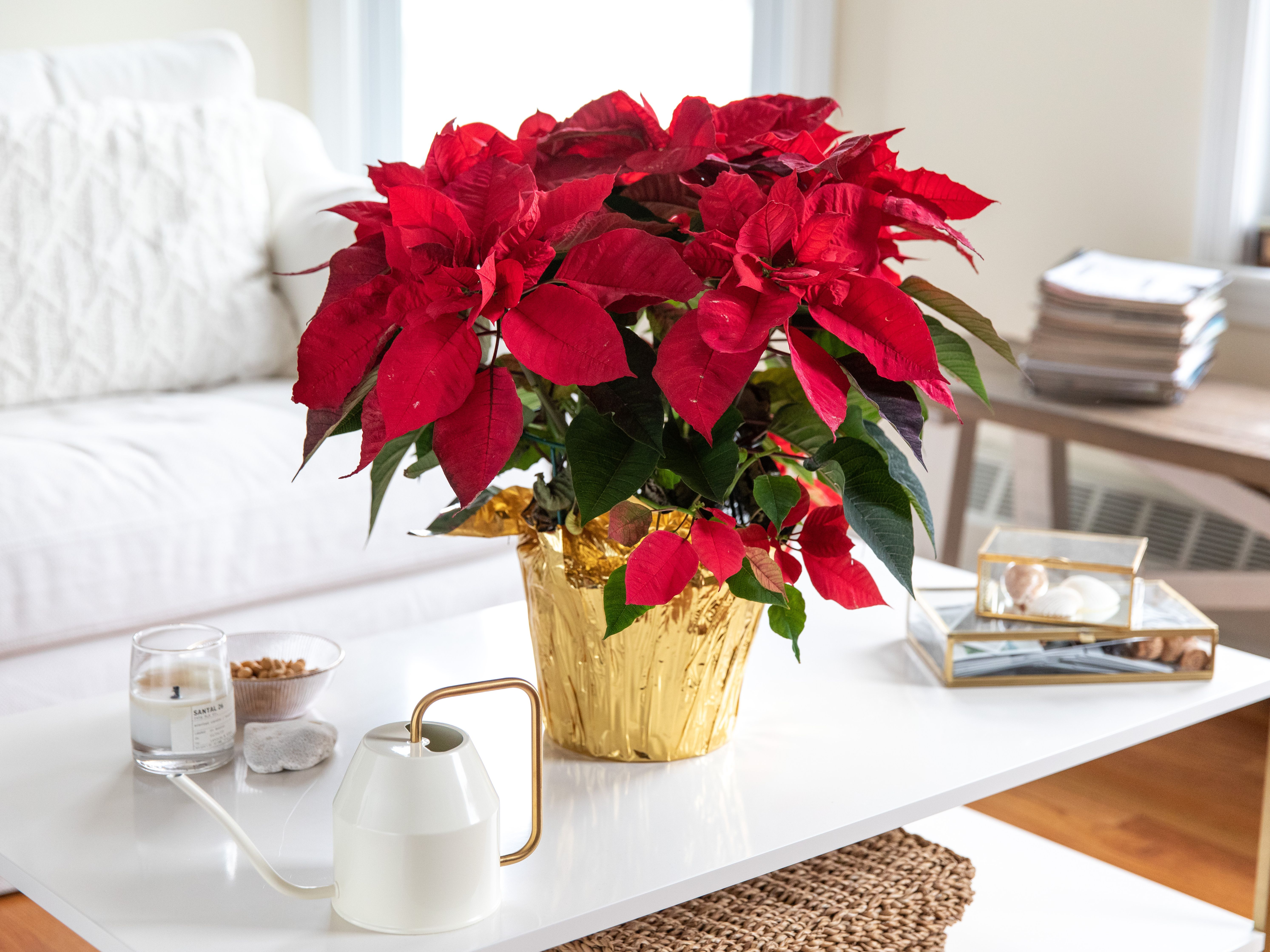 Poinsettia Indoor Plant Care Growing Guide