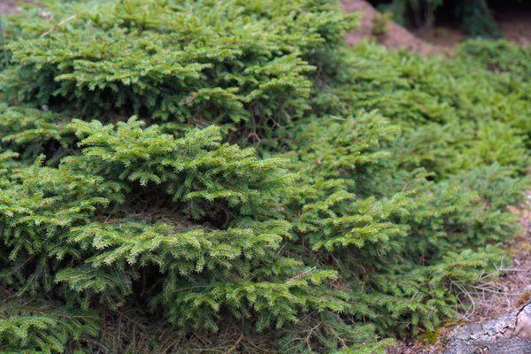 Bird's nest spruce shrub with horizontal branches