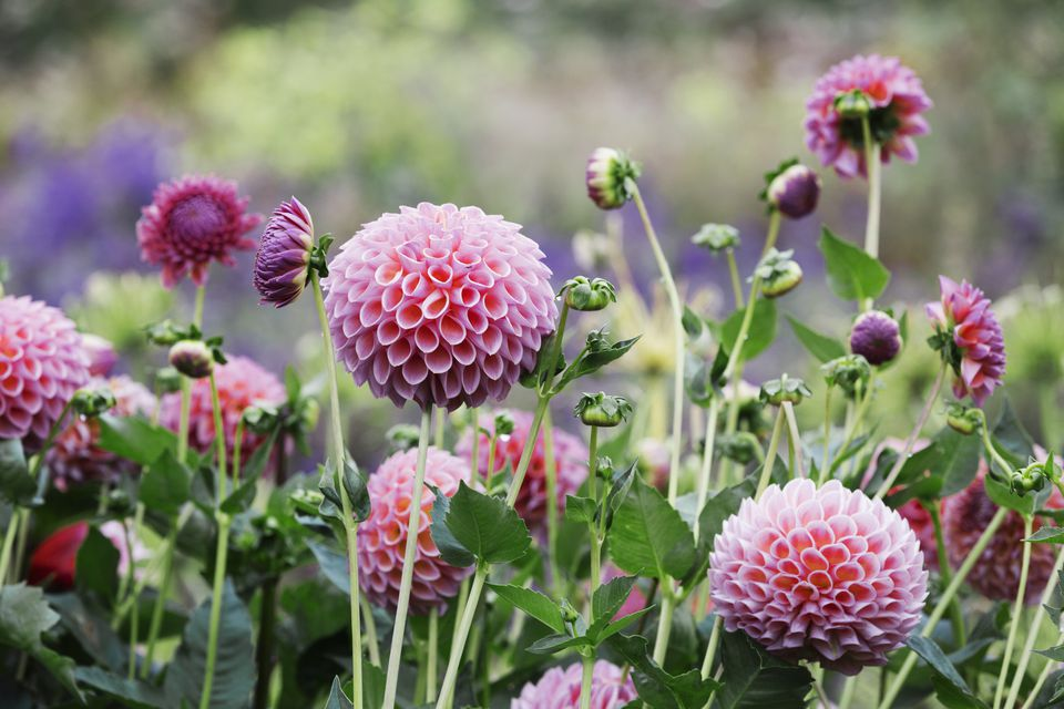 A commercial organic flower nursery bed, pink globe dahlias.