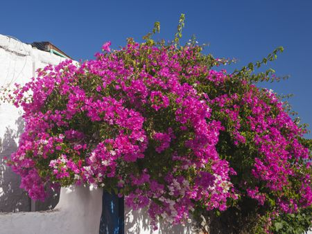 Magenta Flowers On Bougainvillea Shrub Growing Against A White Wall
