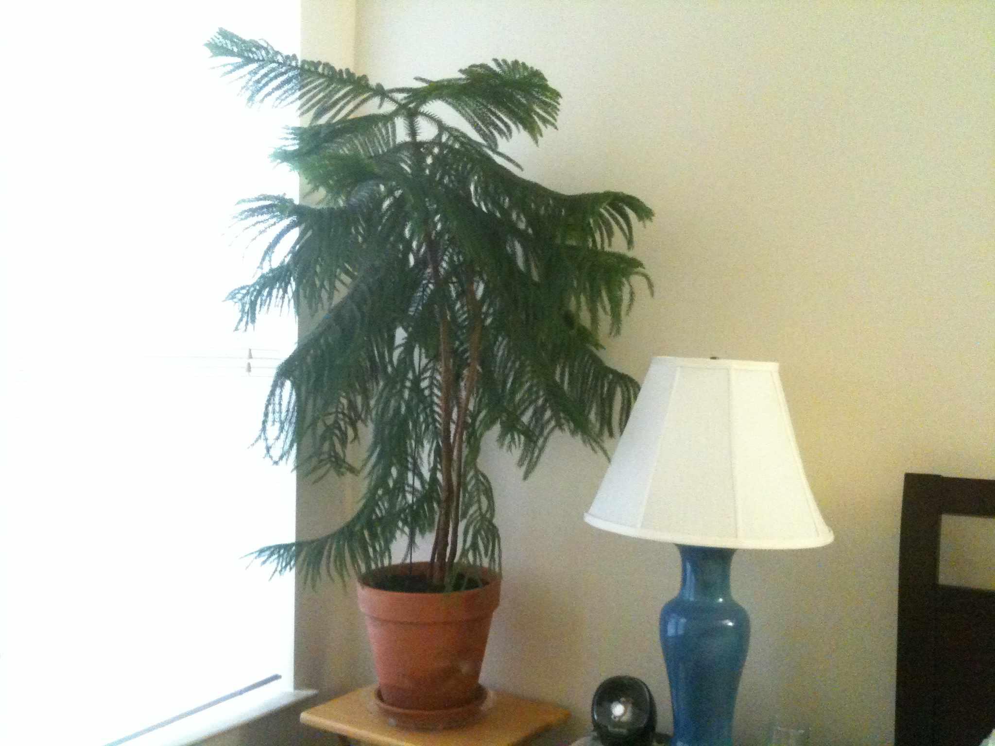 pino de la isla de Norfolk cultivado en el interior