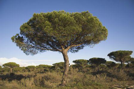 Stone Pine Trees Pinus Pinea And Blue Sky