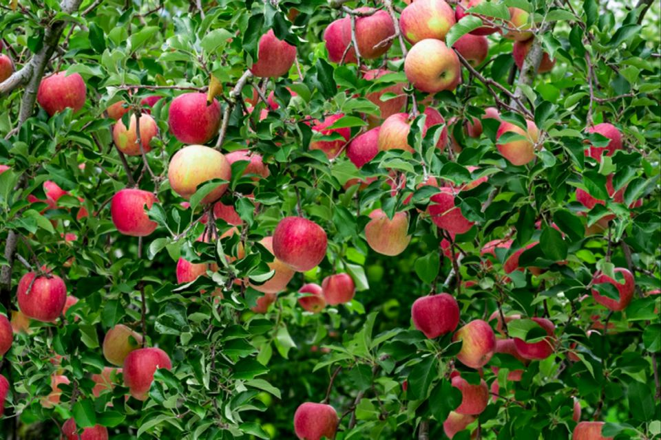 Gravenstein apple tree branches with red and yellow apples hanging