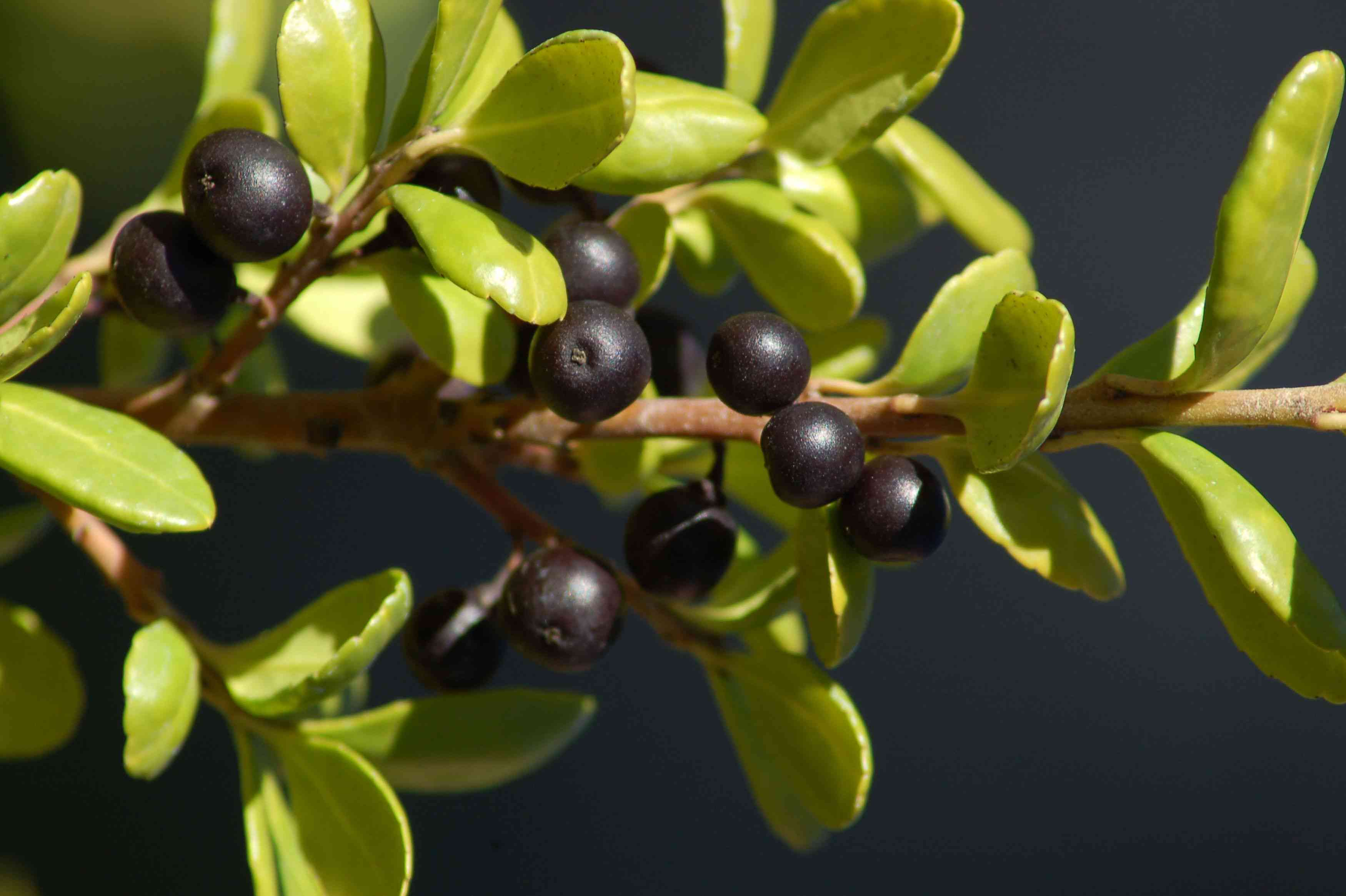 Japanese holly branch with black berries and small light green leaves closeup