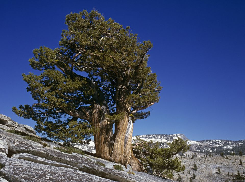 Bristlecone Pine Tree in the mountains