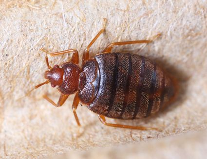Brilliant How To Treat Bed Bugs In Furniture Unemploymentrelief Wooden Chair Designs For Living Room Unemploymentrelieforg